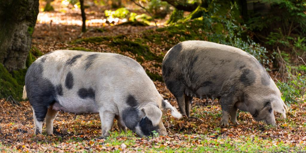 Who let the pigs out! New Forest Pannage Season